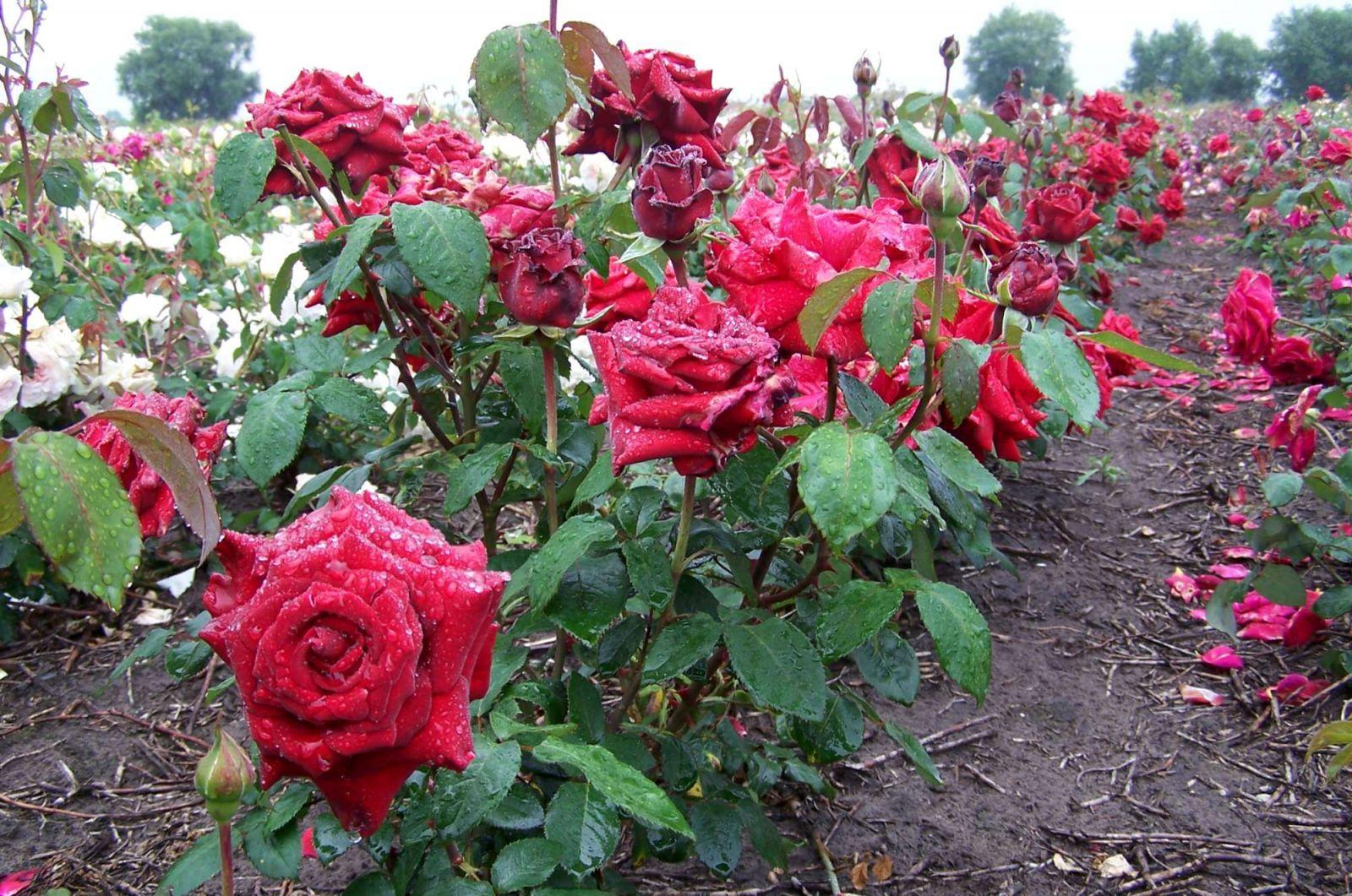 разновидности роз с фото и названиями довольно сильно