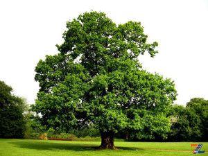 Величественный дуб