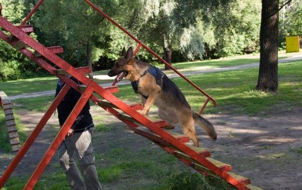 Собакам занимается на тренировочной лестнице