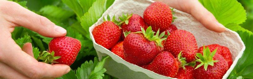 Wunderbar reife Erdbeeren werden am Feld geerntet