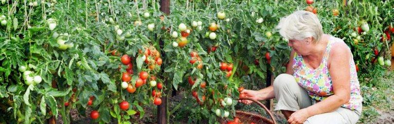 sbor-pomidorov_crm