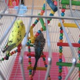 Лестница в клетке попугая